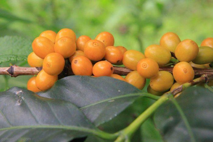 Giống Caturra vàng là một giống cà phê đột biên của Bourbon