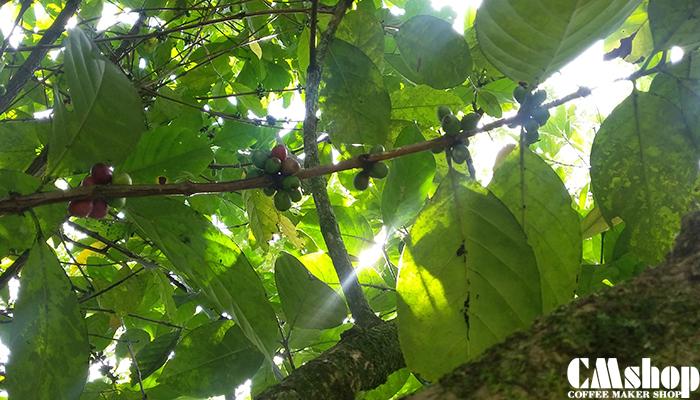 Cà phê Liberica hay Excelsa, cà phê Mít cho năng suất kém