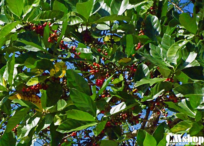 Cà phê Mít có thể phát triển lên đến trên 15m