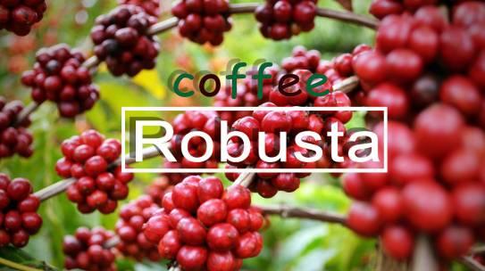 Cà phê Robusta (Cà phê vối) là gì?