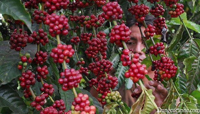 Cà phê Robusta (cà phê vối) tại Cầu Đất - Việt Nam