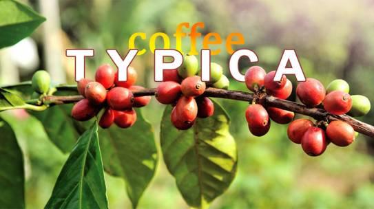 Cà phê Typica là gì?