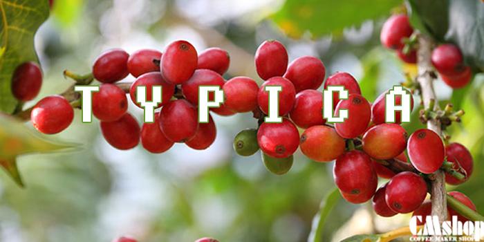Cà phê Typica là gì.