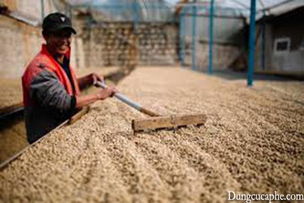 Cà phê phơi được đảo thường xuyên để tránh lên men, mốc