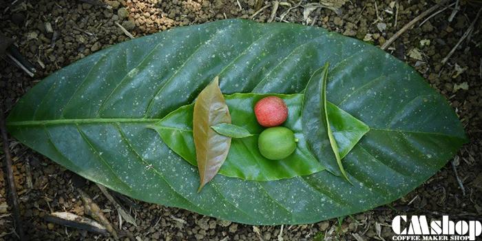 Lá của cà phê Liberia rất to giống với lá mít