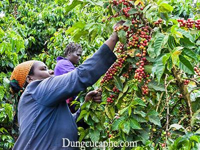 Những người nông dân đang thu hái từng quả bằng tay ở Kenya