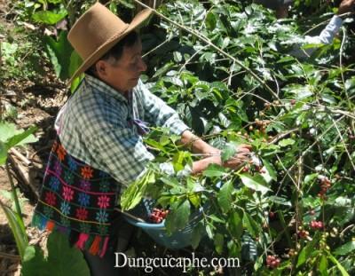Những người nông dân Mexico đang thu hoạch cà phê