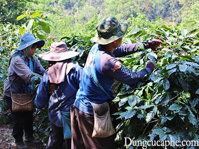 Thu hái cà phê ở Chiang Rai phía Bắc Thái Lan gần biên giới Myanmar