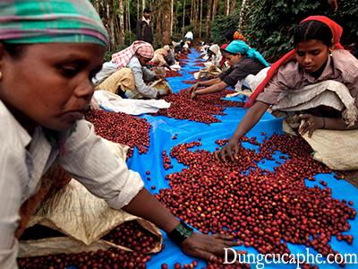 Tuy trà thường phổ biến hơn ở Ấn Độ, đất nước này tiêu thụ hai triệu bao cà phê 60kg mỗi bao một năm, hầu hết là Robusta