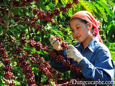 Việt Nam là nước sản xuất cà phê lớn thứ hai trên thế giới, và hầu hết cà phê được thu hoạch bằng tay