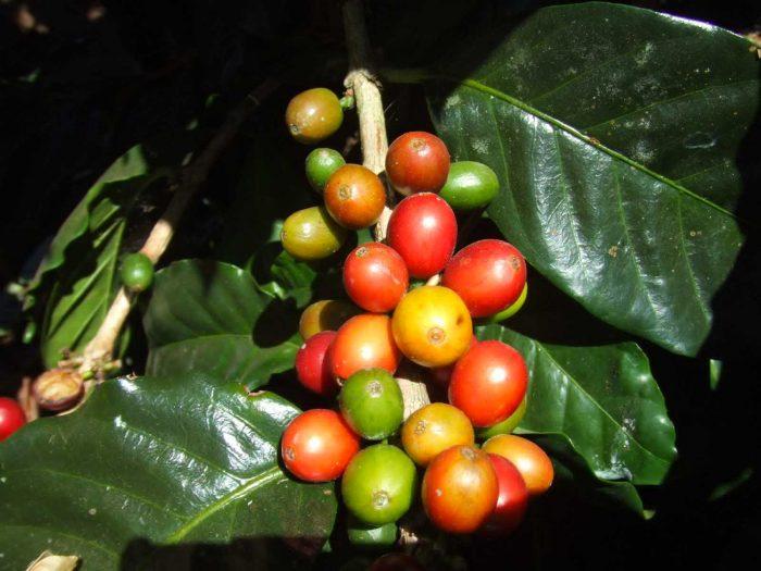 Giống cà phê Villa Sachi ở Costa Rica