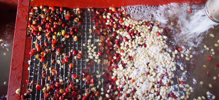 Phương pháp chế biến cà phê ướt là gì?